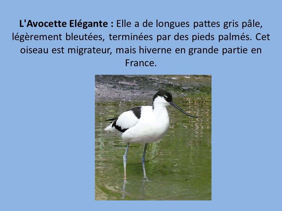 L Avocette Elégante : Elle a de longues pattes gris pâle, légèrement bleutées, terminées par des pieds palmés.
