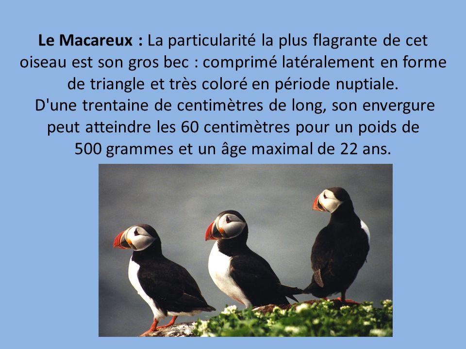 Le Macareux : La particularité la plus flagrante de cet oiseau est son gros bec : comprimé latéralement en forme de triangle et très coloré en période nuptiale.