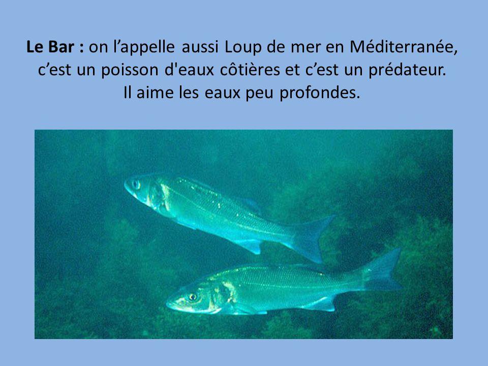 Le Bar : on l'appelle aussi Loup de mer en Méditerranée, c'est un poisson d eaux côtières et c'est un prédateur.