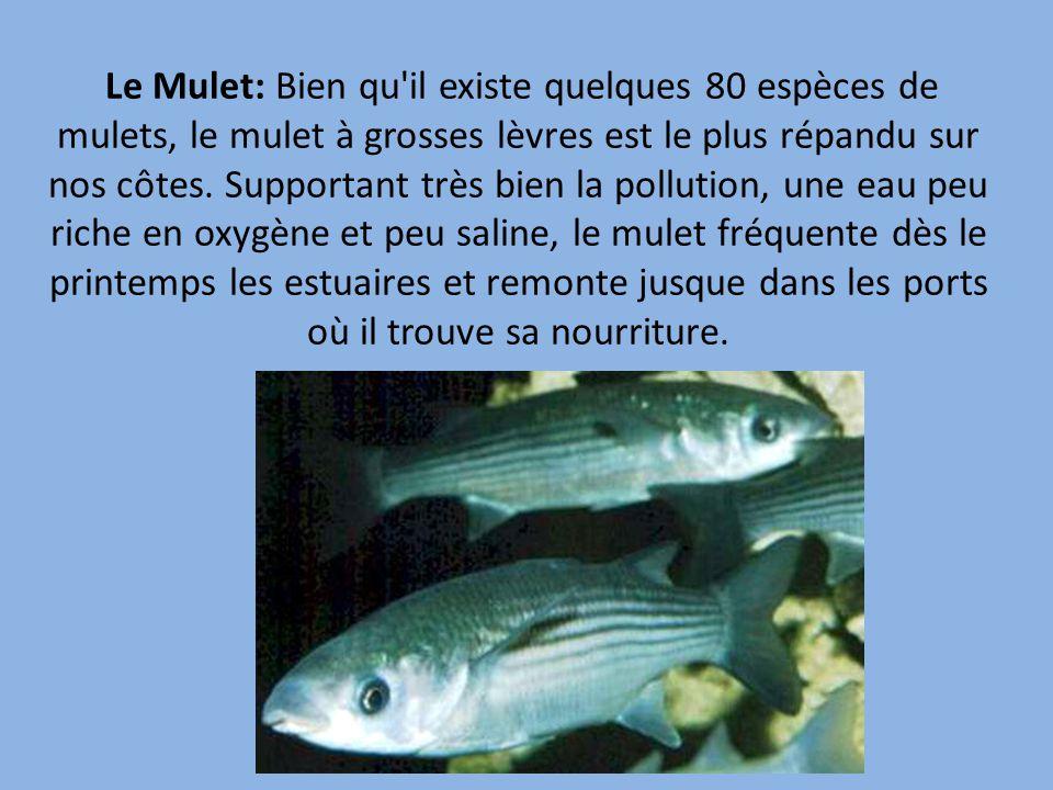 Le Mulet: Bien qu il existe quelques 80 espèces de mulets, le mulet à grosses lèvres est le plus répandu sur nos côtes.