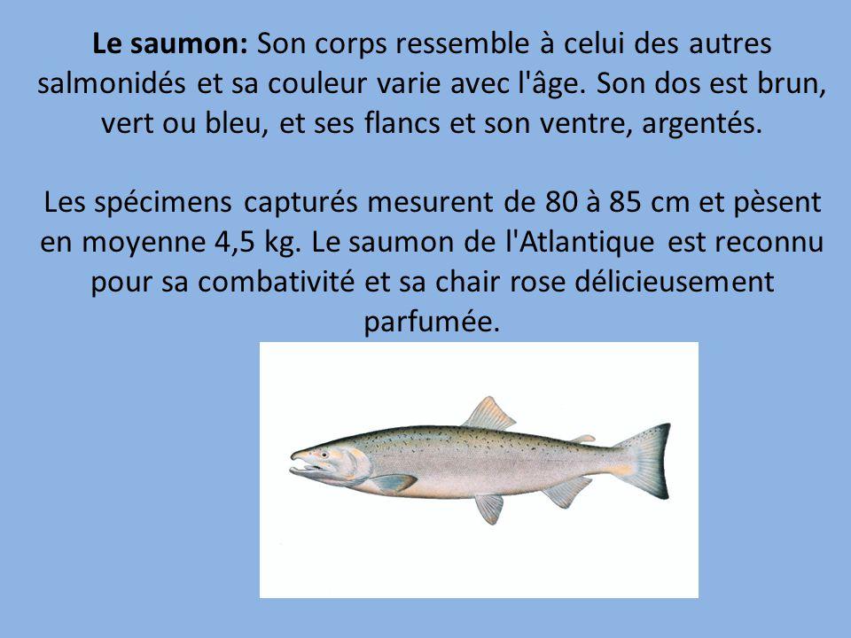 Le saumon: Son corps ressemble à celui des autres salmonidés et sa couleur varie avec l âge.