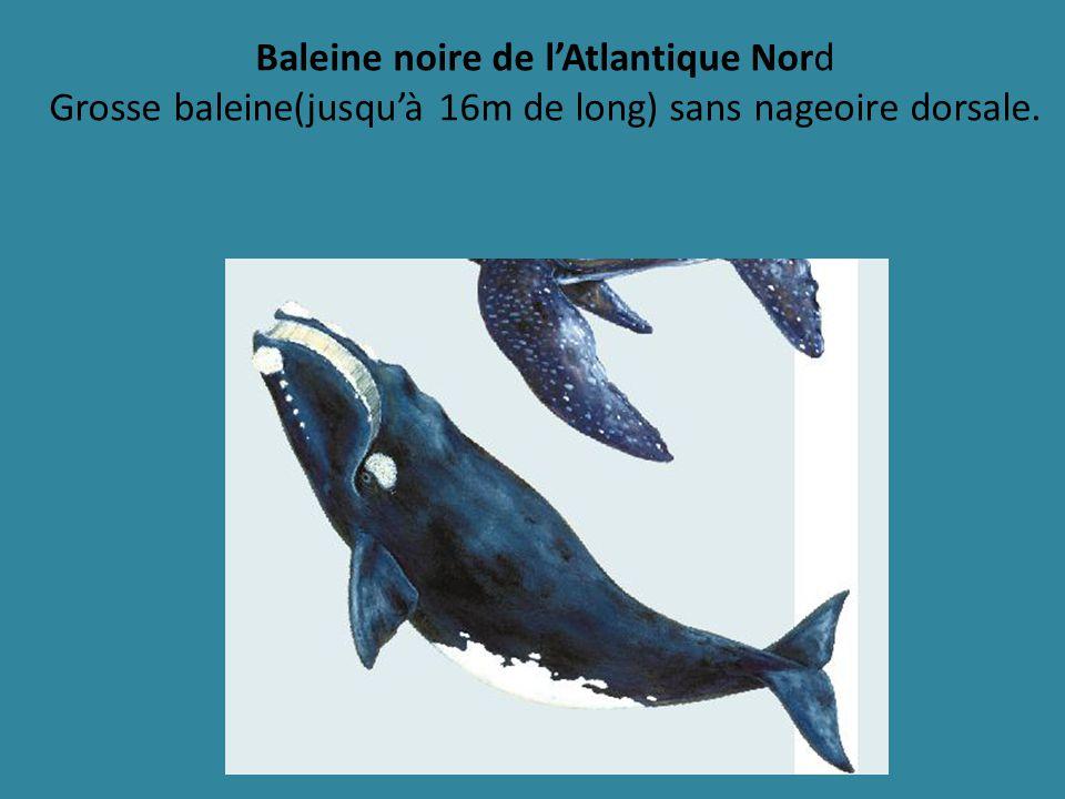 Baleine noire de l'Atlantique Nord Grosse baleine(jusqu'à 16m de long) sans nageoire dorsale.