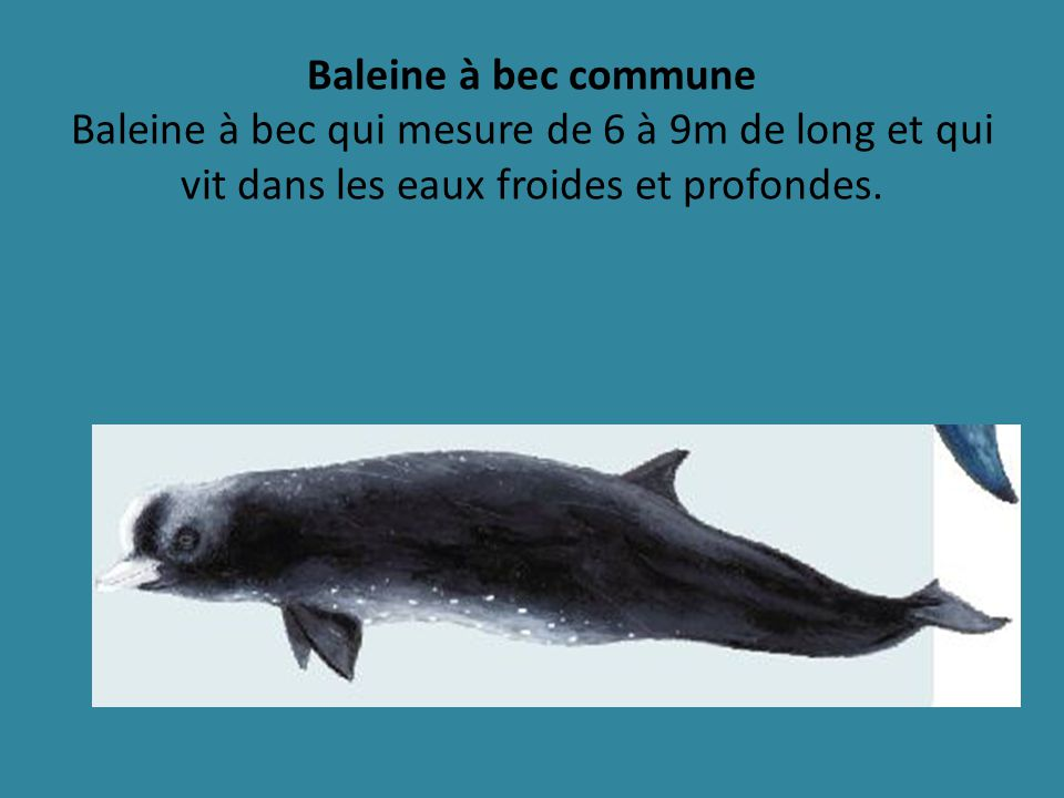 Baleine à bec commune Baleine à bec qui mesure de 6 à 9m de long et qui vit dans les eaux froides et profondes.