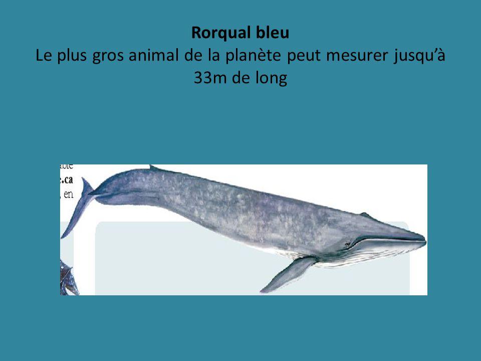Rorqual bleu Le plus gros animal de la planète peut mesurer jusqu'à 33m de long