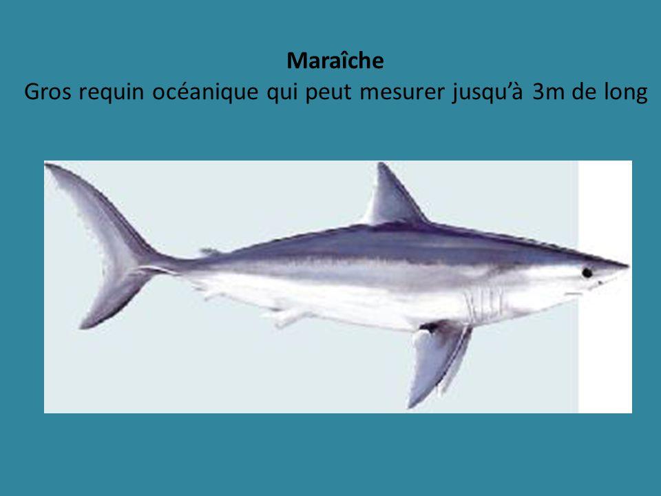 Maraîche Gros requin océanique qui peut mesurer jusqu'à 3m de long