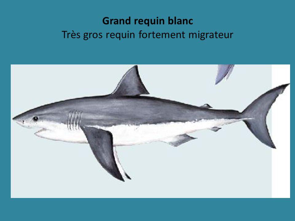 Grand requin blanc Très gros requin fortement migrateur