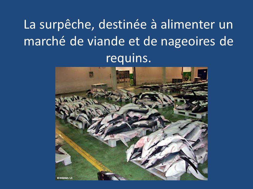 La surpêche, destinée à alimenter un marché de viande et de nageoires de requins.