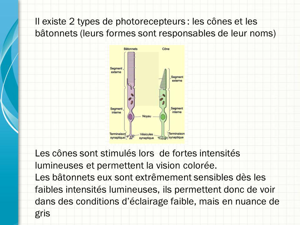 Il existe 2 types de photorecepteurs : les cônes et les bâtonnets (leurs formes sont responsables de leur noms)