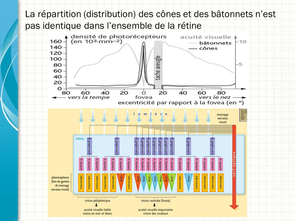 La répartition (distribution) des cônes et des bâtonnets n'est pas identique dans l'ensemble de la rétine