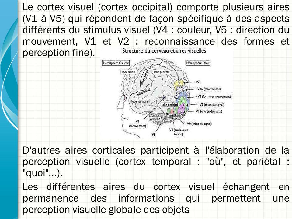 Le cortex visuel (cortex occipital) comporte plusieurs aires (V1 à V5) qui répondent de façon spécifique à des aspects différents du stimulus visuel (V4 : couleur, V5 : direction du mouvement, V1 et V2 : reconnaissance des formes et perception fine). D autres aires corticales participent à l élaboration de la perception visuelle (cortex temporal : où , et pariétal : quoi ...). Les différentes aires du cortex visuel échangent en permanence des informations qui permettent une perception visuelle globale des objets