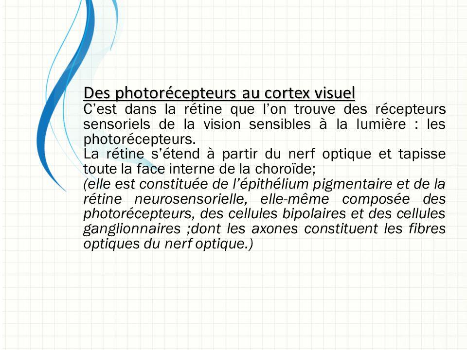 Des photorécepteurs au cortex visuel