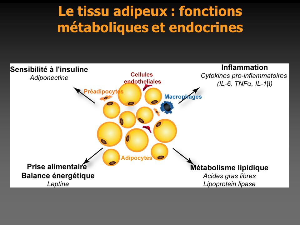 Le tissu adipeux : fonctions métaboliques et endocrines