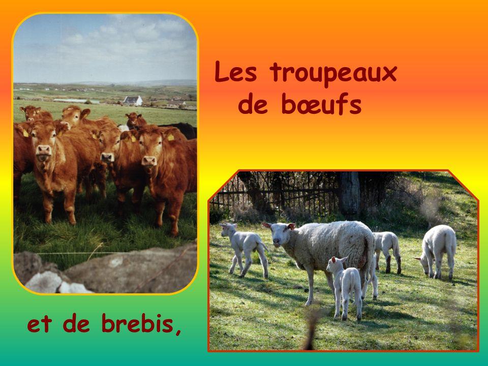 Les troupeaux de bœufs et de brebis,