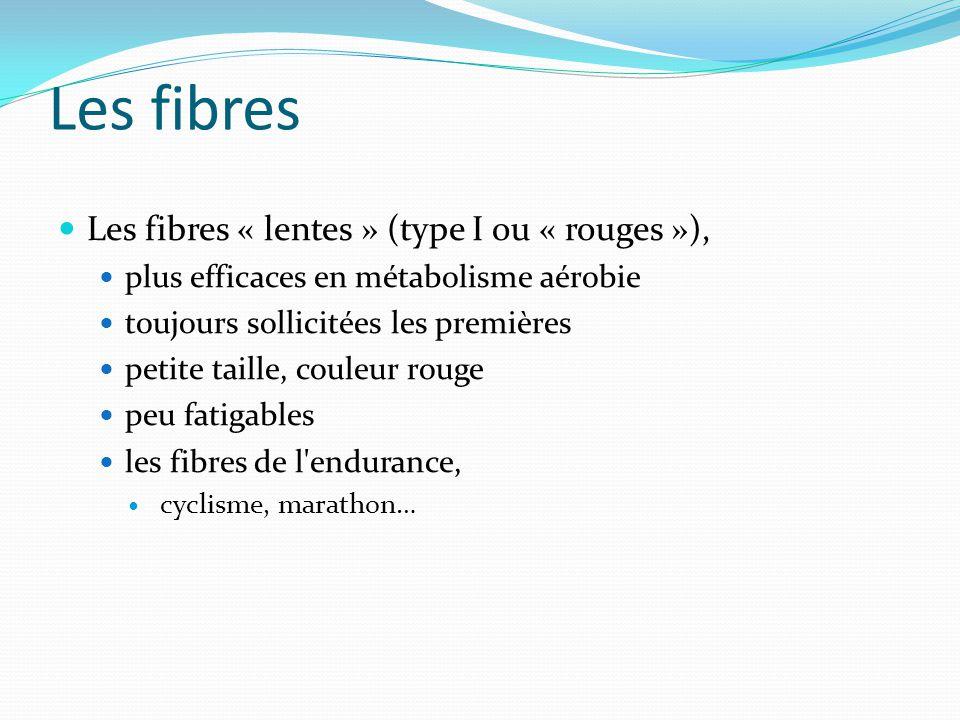 Les fibres Les fibres « lentes » (type I ou « rouges »),