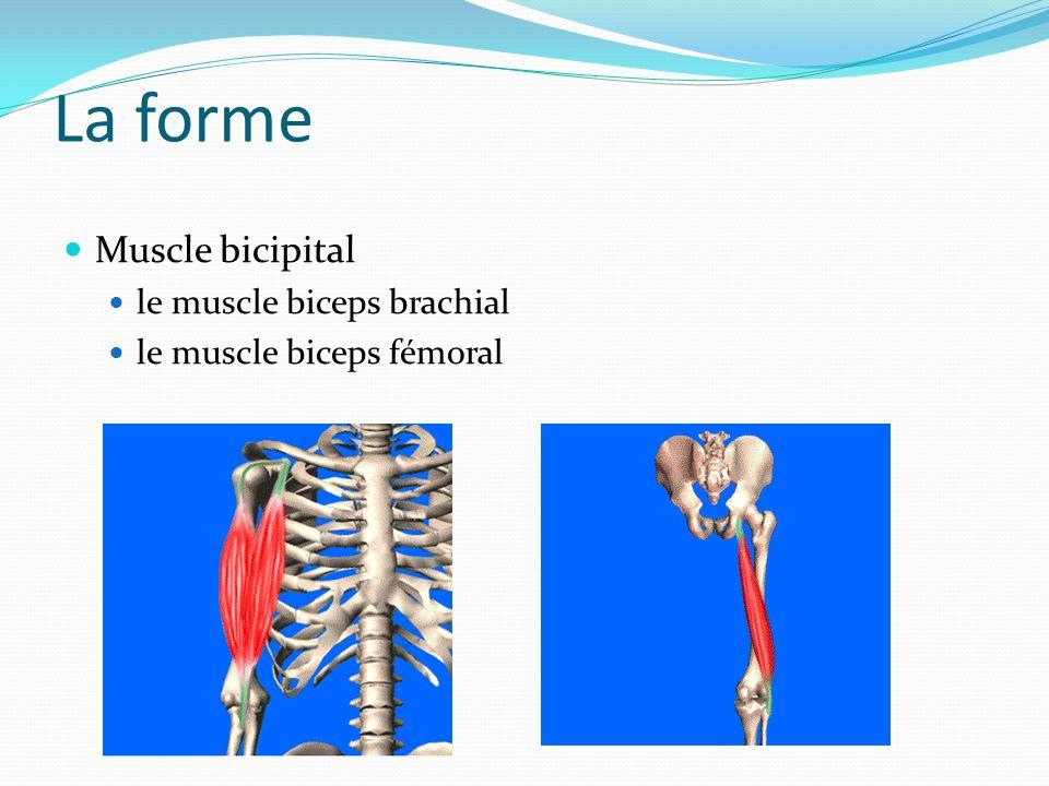 La forme Muscle bicipital le muscle biceps brachial
