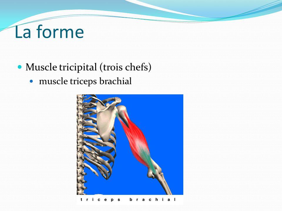La forme Muscle tricipital (trois chefs) muscle triceps brachial
