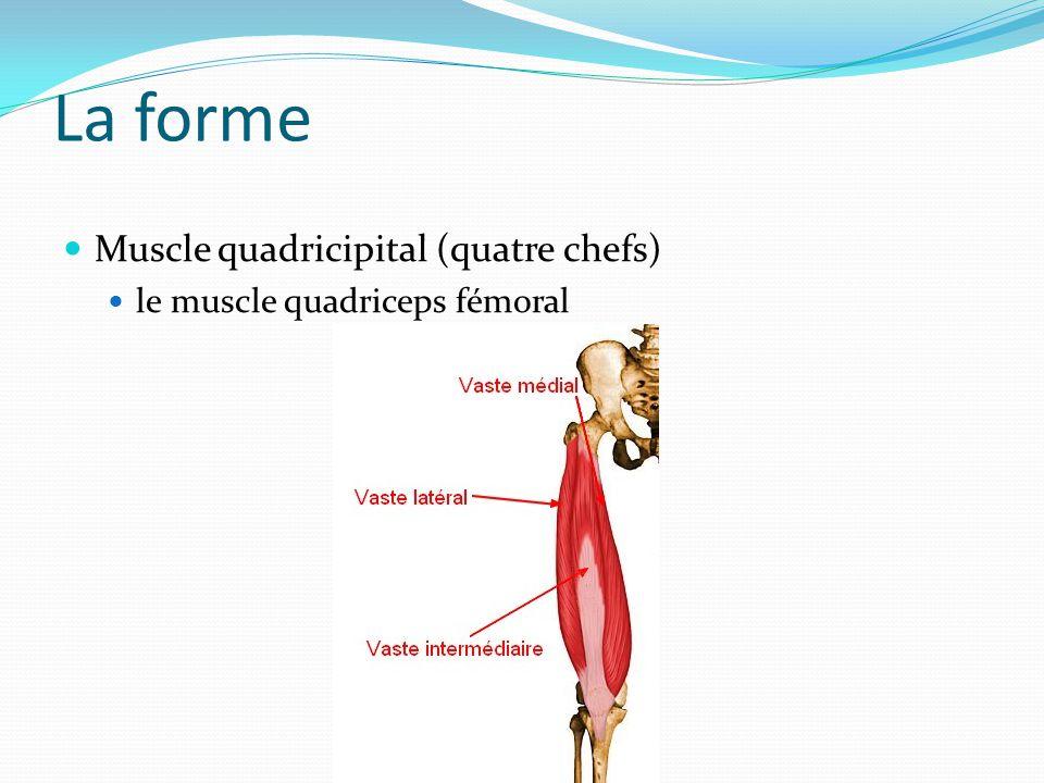 La forme Muscle quadricipital (quatre chefs)