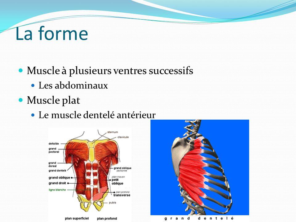 La forme Muscle à plusieurs ventres successifs Muscle plat