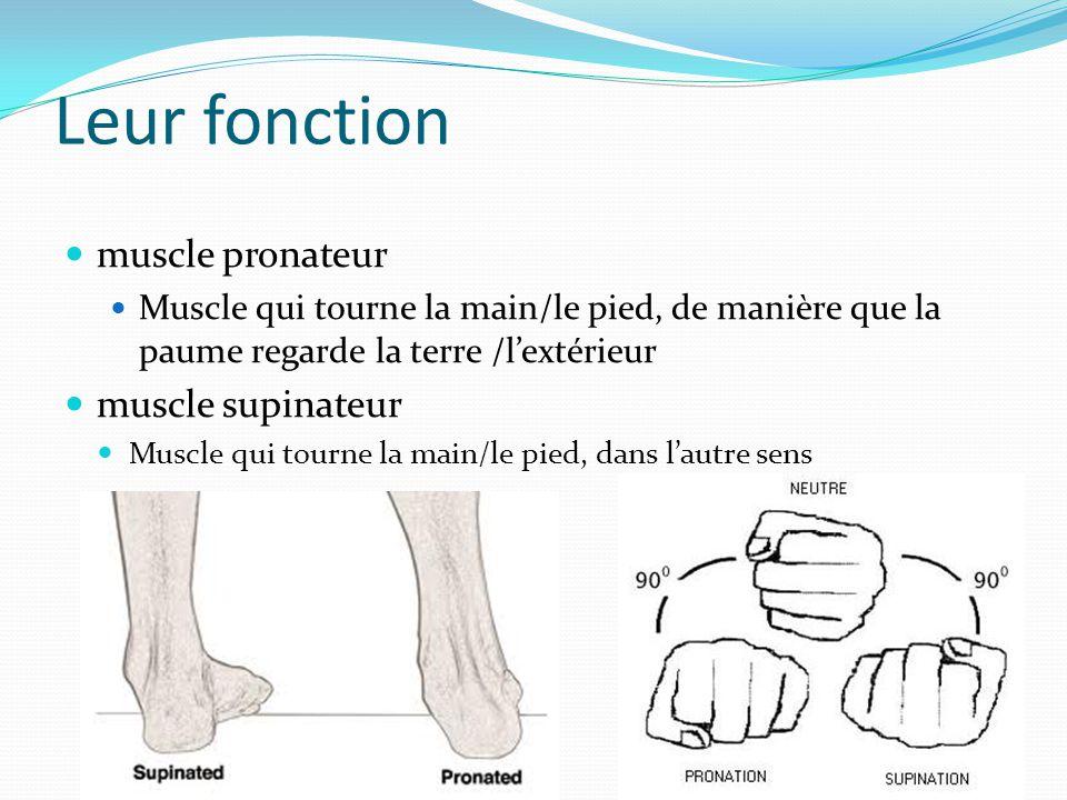Leur fonction muscle pronateur muscle supinateur