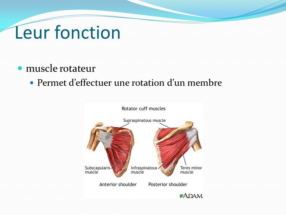 Leur fonction muscle rotateur