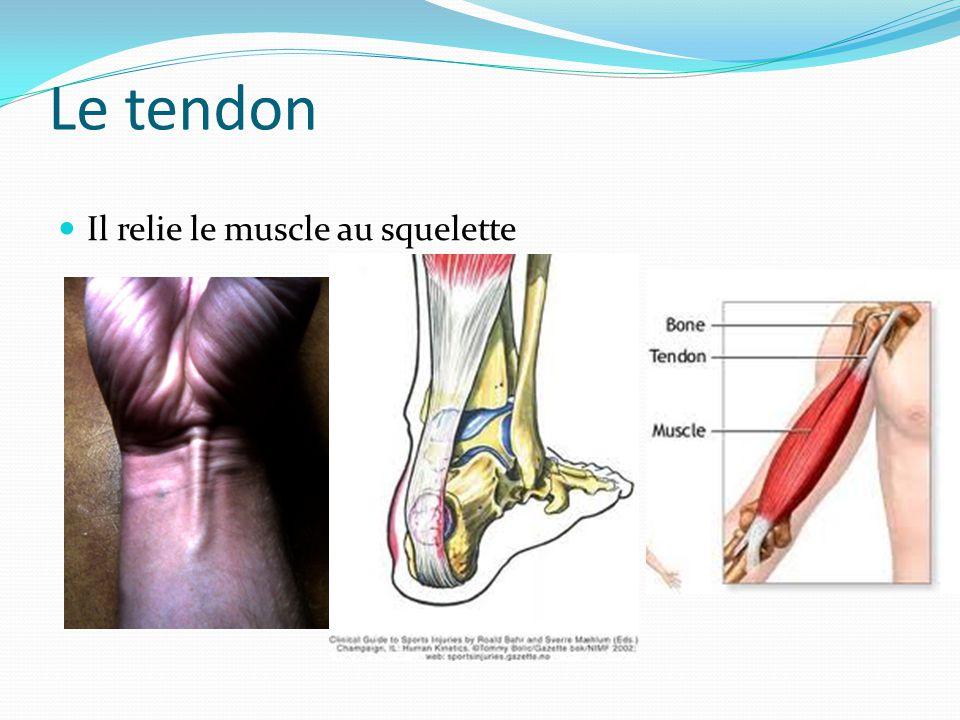 Le tendon Il relie le muscle au squelette