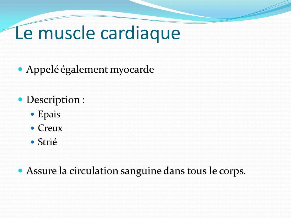 Le muscle cardiaque Appelé également myocarde Description :