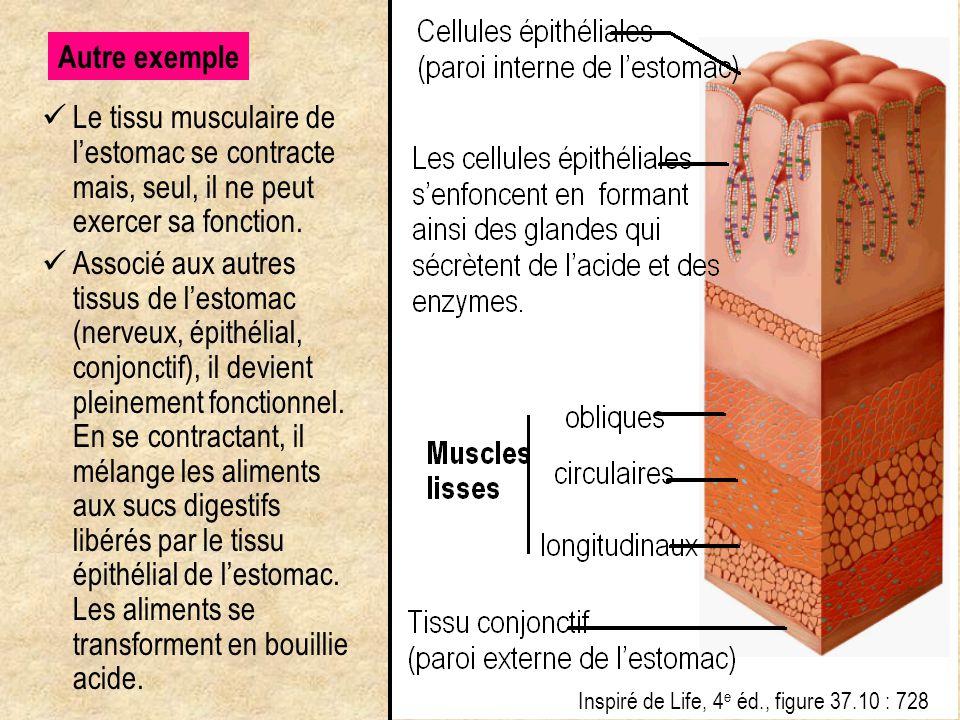 Autre exemple Le tissu musculaire de l'estomac se contracte mais, seul, il ne peut exercer sa fonction.