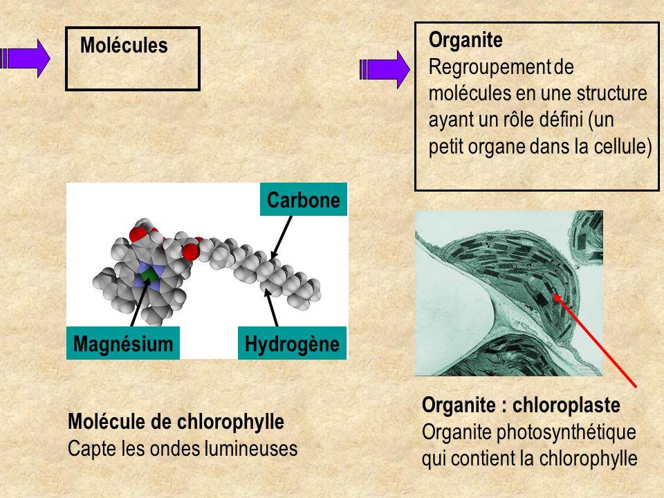 Organite Regroupement de molécules en une structure ayant un rôle défini (un petit organe dans la cellule)
