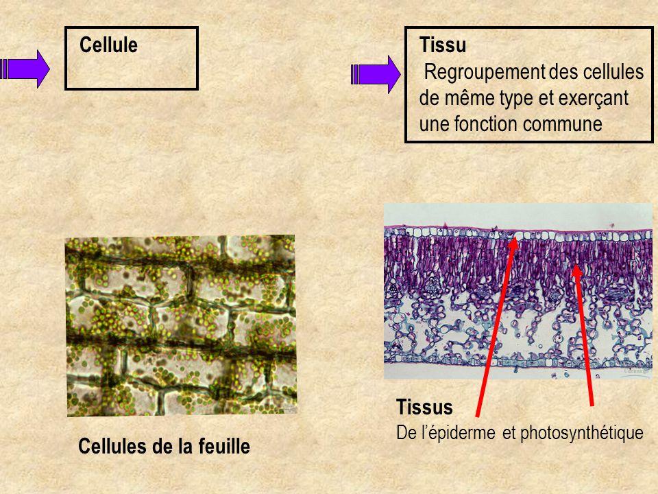Cellule Tissu Regroupement des cellules de même type et exerçant une fonction commune. Tissus De l'épiderme et photosynthétique.