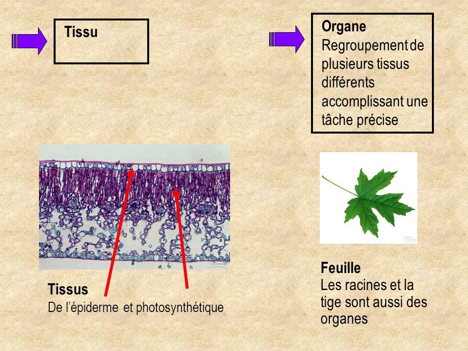 Organe Regroupement de plusieurs tissus différents accomplissant une tâche précise