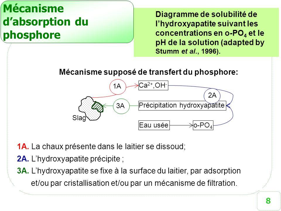 Mécanisme d'absorption du phosphore