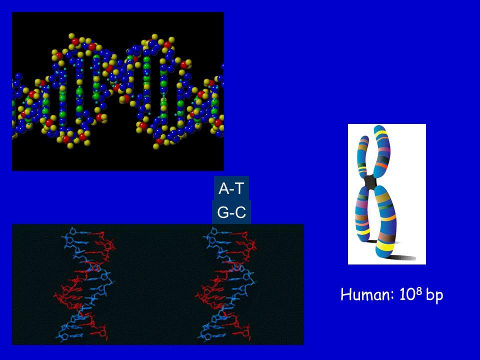 A-T G-C Human: 108 bp