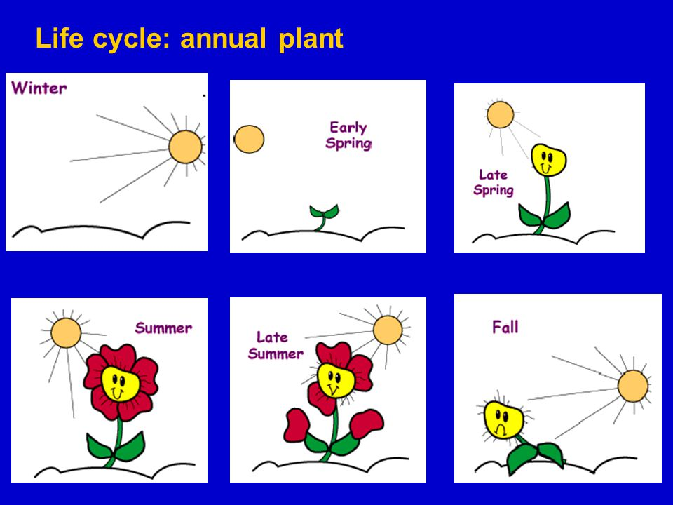 Life cycle: annual plant