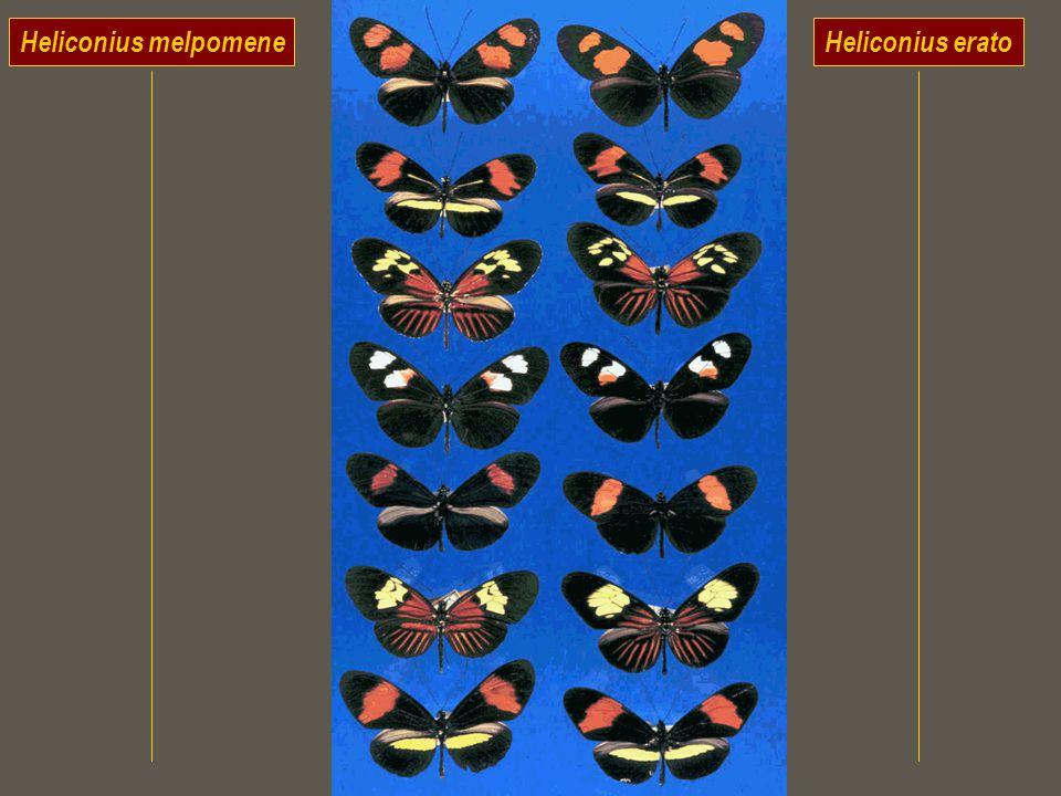 Heliconius melpomene Heliconius erato