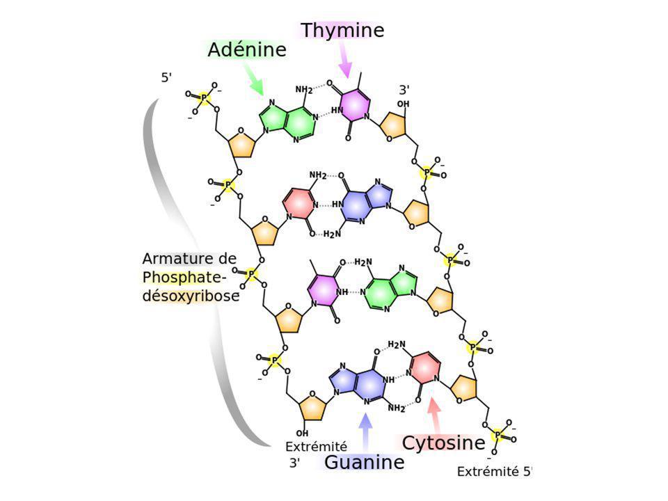 Liaison hydrogène possibles par 2 entre adénine et thymine
