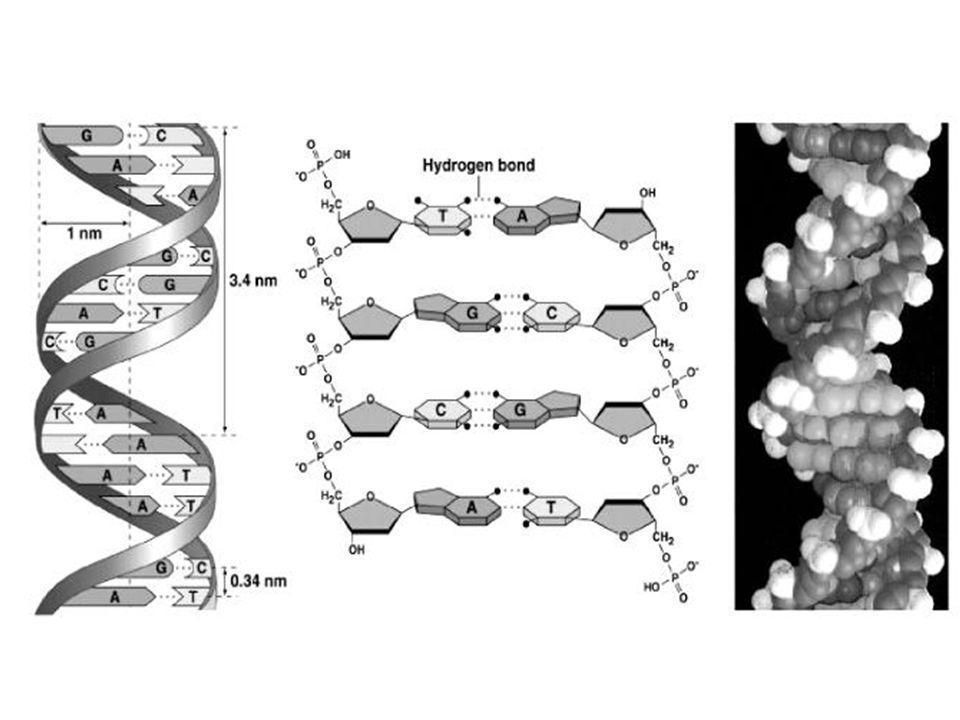 Ces liaisons hydrogène sont à l'origine de la structure dans l'espace de la molécule d'adn et expliquent que ces 2 brins ne sont que faiblement liés.