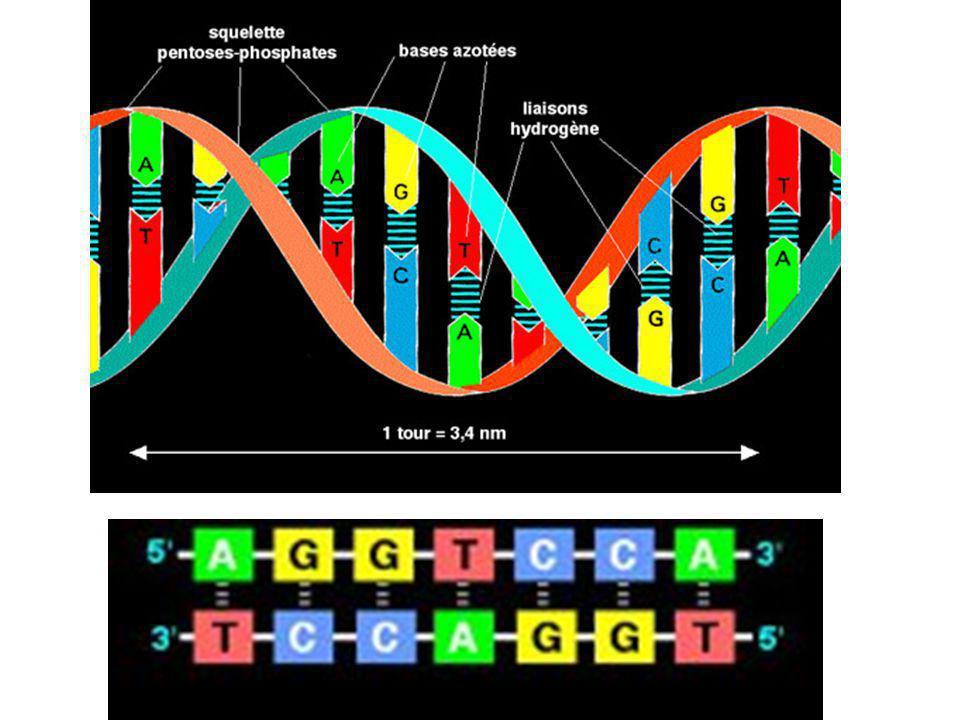 Cela donne cette représentation simplifiée de la molécule