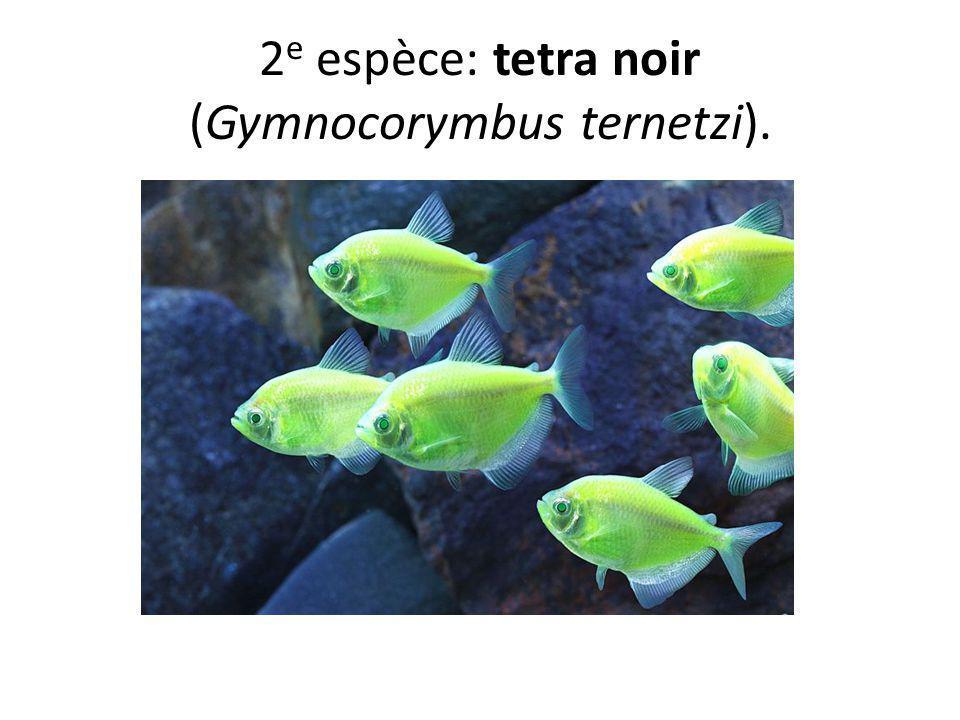 2e espèce: tetra noir (Gymnocorymbus ternetzi).