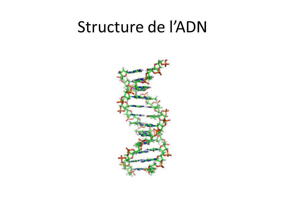 Structure de l'ADN Structure ADN: Noter double hélice, 2 brins…