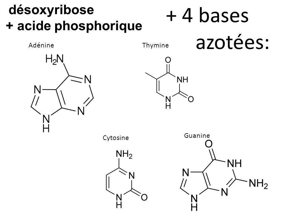+ 4 bases azotées: + acide phosphorique désoxyribose Adénine Thymine