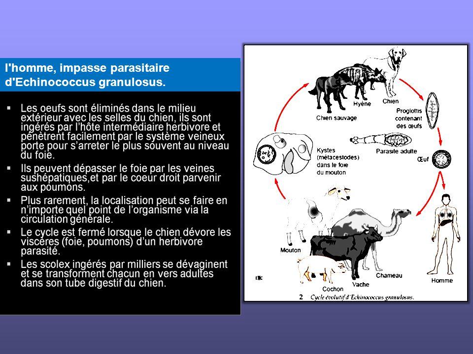 l homme, impasse parasitaire d Echinococcus granulosus.