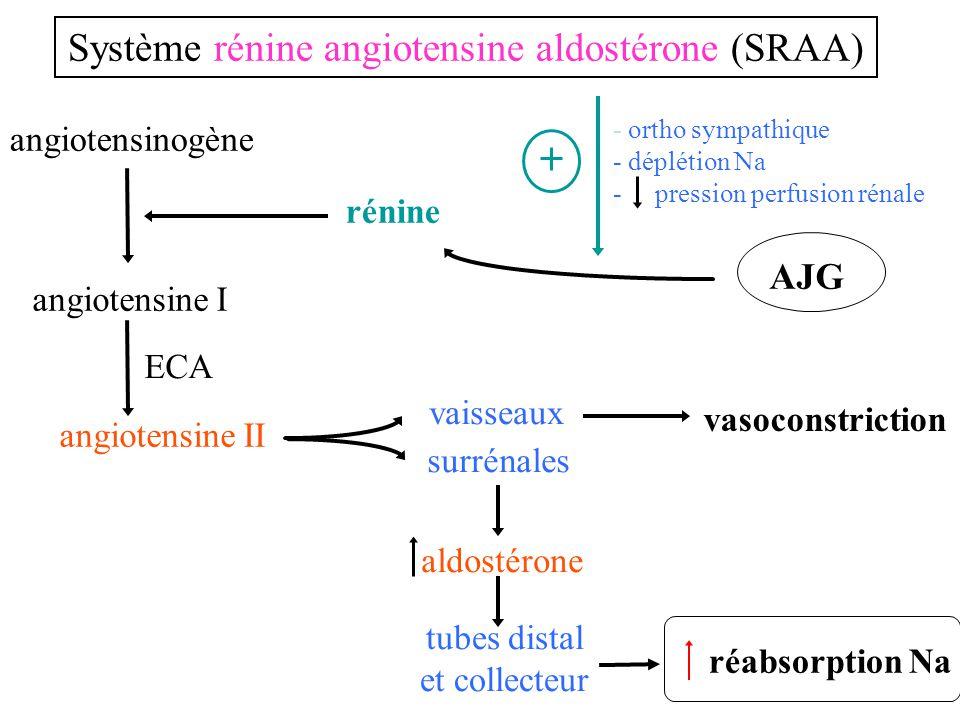 Système rénine angiotensine aldostérone (SRAA)