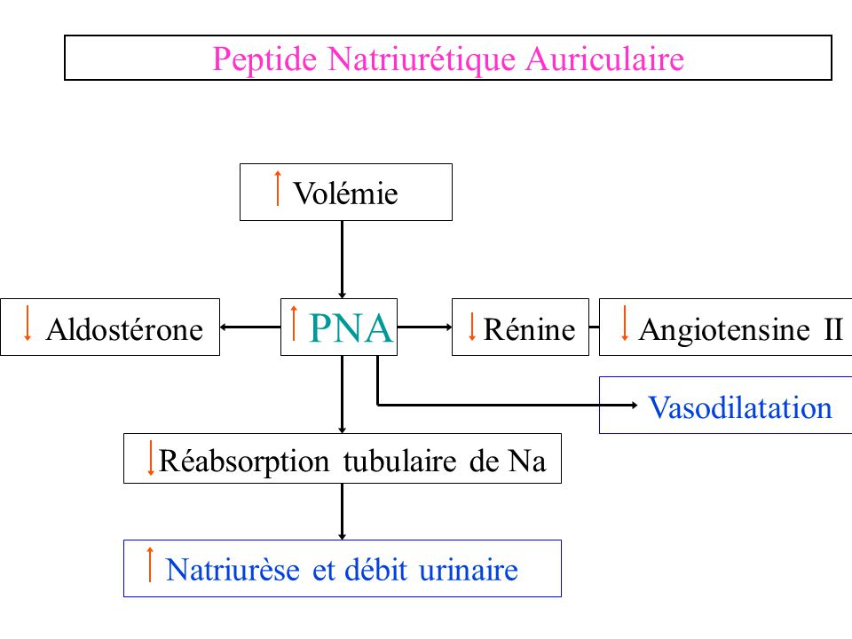PNA Peptide Natriurétique Auriculaire Aldostérone Rénine