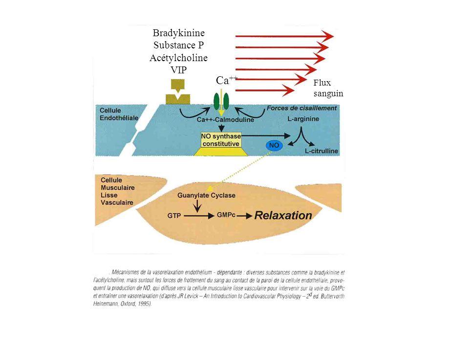 Bradykinine Substance P Acétylcholine VIP Ca++ Flux sanguin