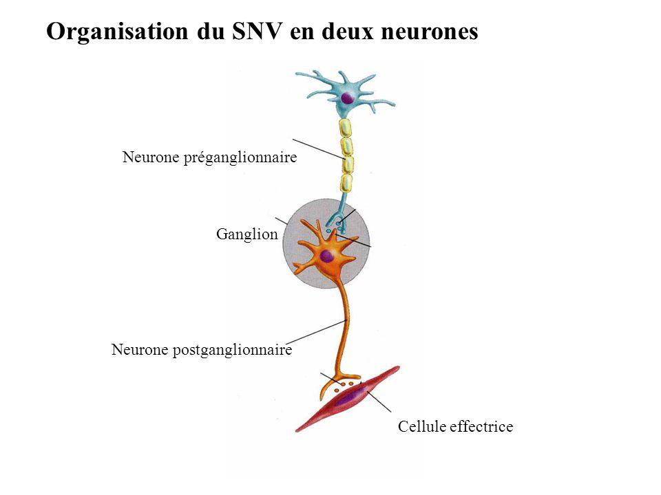 Organisation du SNV en deux neurones