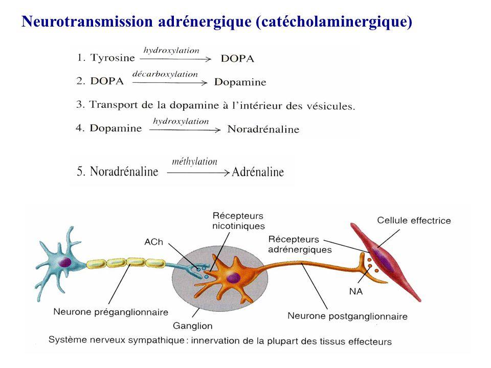 Neurotransmission adrénergique (catécholaminergique)