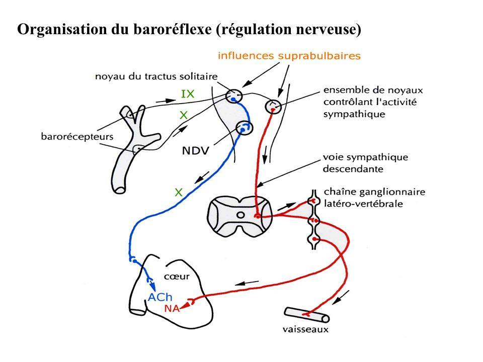 Organisation du baroréflexe (régulation nerveuse)