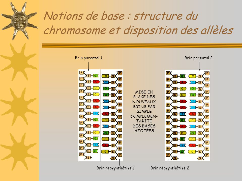 Notions de base : structure du chromosome et disposition des allèles