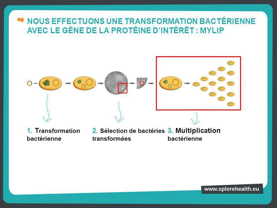 NOUS EFFECTUONS UNE TRANSFORMATION BACTÉRIENNE AVEC LE GÈNE DE LA PROTÉINE D'INTÉRÊT : MYLIP