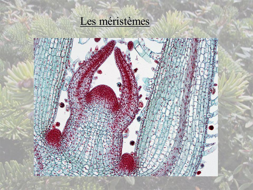Les méristèmes